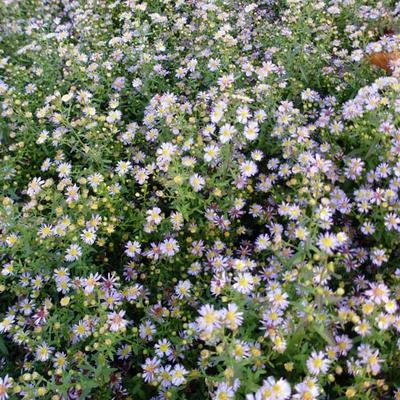 Aster ericoides 'Lovely' -