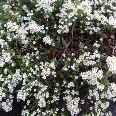 Aster ericoides 'Snowflurry' -