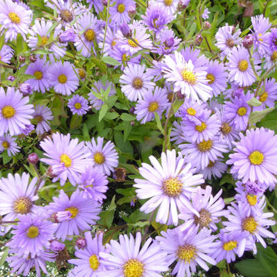 Aster 'JS Barts Blue Beauty' - Herfstaster
