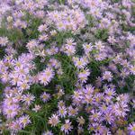 Aster ericoides 'Pink Star' - Aster - Aster ericoides 'Pink Star'