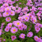 Aster 'Wood's Pink' - Aster