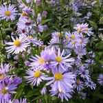 Gladde aster - Aster laevis 'Calliope'