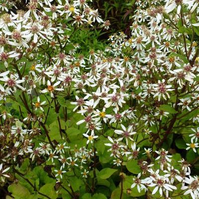 Aster macrophyllus 'Albus' -