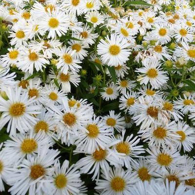 Aster novae-angliae 'Herbstschnee' - Herfstaster - Aster novae-angliae 'Herbstschnee'