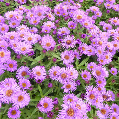 Aster novae-angliae 'Purple Dome' - Aster - Aster novae-angliae 'Purple Dome'