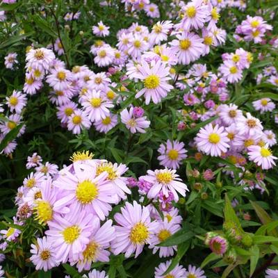 Aster novi-belgii 'Strawberry and Cream' - Herfstaster