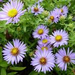 Aster oblongifolius 'October Skies' - Aster - Aster oblongifolius 'October Skies'