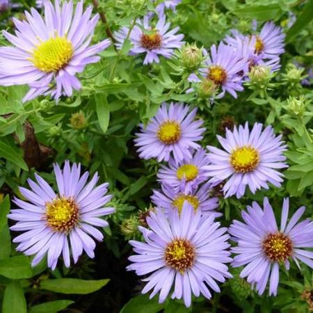 Aster oblongifolius 'October Skies'
