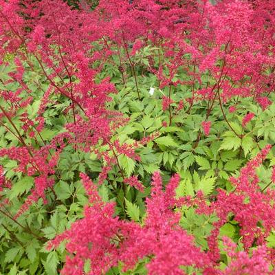 Astilbe x arendsii 'Spinell'  -