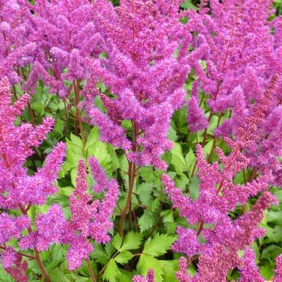 Astilbe chinensis 'Vision in Red' - Pluimspirea