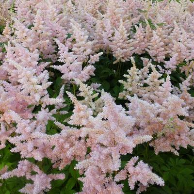 Astilbe japonica 'Europa' -