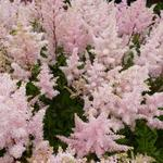 Astilbe japonica  'Peach Blossom' - Pluimspirea - Astilbe japonica  'Peach Blossom'