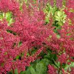 Astilbe japonica 'Red Sentinel' - Pluimspirea