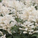 Astilbe japonica 'Washington'  - Astilbe japonica 'Washington'  - Pluimspirea