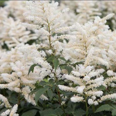 Astilbe japonica 'Washington'  -