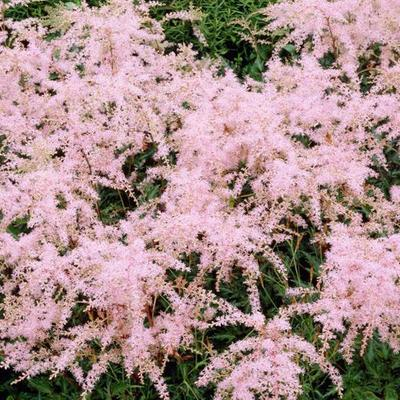 Astilbe Simplicifolia 'Sprite' -