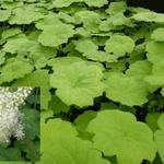 Astilboides tabularis - Tafelblad - Astilboides tabularis