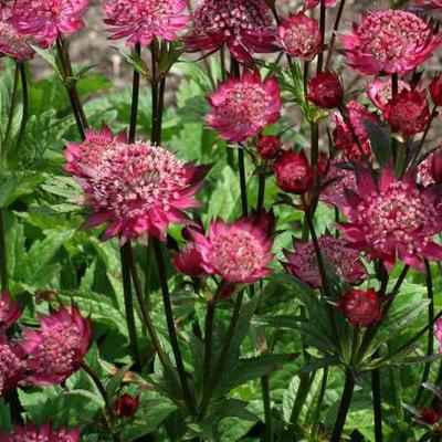 Astrantia 'Hadspen Blood' -