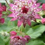 Zeeuws knoopje - Astrantia major 'Rosea'