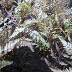 Athyrium niponicum 'Pewter Lace' - Japanse regenboog - Athyrium niponicum 'Pewter Lace'