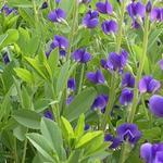 Baptisia australis 'Caspian Blue' - Baptisia australis 'Caspian Blue' - Valse indigo / Baptist / Indigolupine