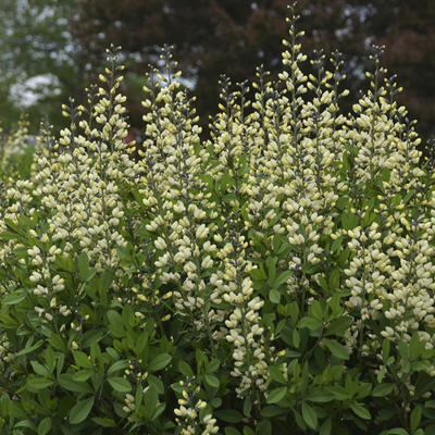Baptisia australis  'DECADENCE Vanilla Cream' - Valse indigo - Baptisia australis  'DECADENCE Vanilla Cream'