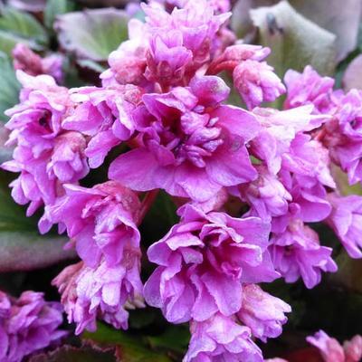 Bergenia cordifolia Abendglut' -