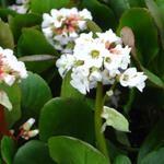 Bergenia 'Bressingham White' - Schoenlappersplant - Bergenia 'Bressingham White'