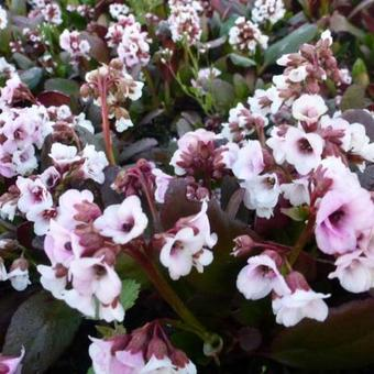 Bergenia DRAGONFLY  'Angel Kiss'