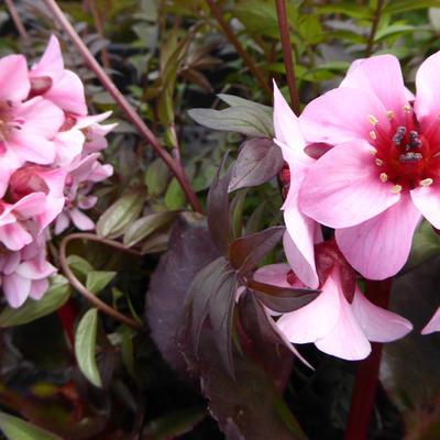 Bergenia DRAGONFLY 'Sakura' -