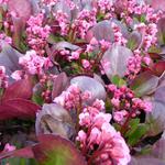 Bergenia 'Flirt' - Schoenlappersplant - Bergenia 'Flirt'