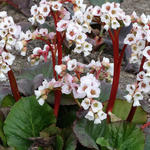 Bergenia 'Jelle' - Schoenlappersplant - Bergenia 'Jelle'