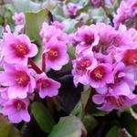 Bergenia 'Morgenröte' - Schoenlappersplant - Bergenia 'Morgenröte'