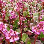 Bergenia 'Ouverture' - Schoenlappersplant - Bergenia 'Ouverture'
