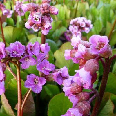 Bergenia cordifolia 'Rotblum' -