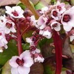 Bergenia 'Silberlicht' - Schoenlappersplant - Bergenia 'Silberlicht'