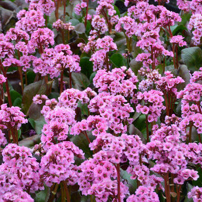 Bergenia 'Spring Fling' -