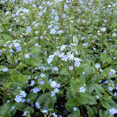 Brunnera macrophylla 'Alexander's Great' - Kaukasische vergeet-mij-nietje - Brunnera macrophylla 'Alexander's Great'