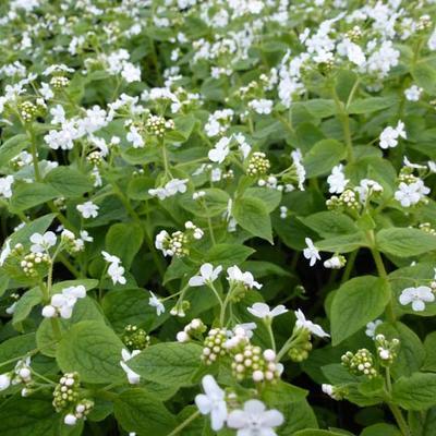 Brunnera macrophylla 'Betty Bowring' - Kaukasische vergeet-mij-nietje - Brunnera macrophylla 'Betty Bowring'