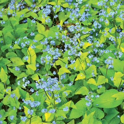 Brunnera macrophylla 'Diane's Gold' - Kaukasisch vergeet-mij-nietje - Brunnera macrophylla 'Diane's Gold'