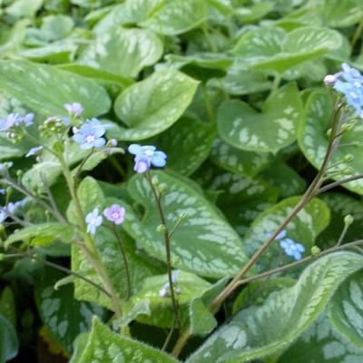 Brunnera macrophylla 'Emerald Mist' - Kaukasisch vergeet-mij-nietje - Brunnera macrophylla 'Emerald Mist'