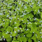 Brunnera macrophylla 'Green Gold' - Brunnera macrophylla 'Green Gold' - Kaukasisch vergeet-mij-nietje