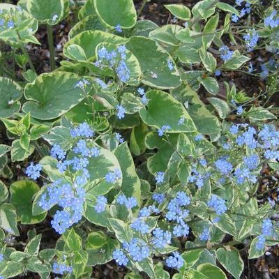 Brunnera macrophylla 'Hadspen Cream' - Kaukasisch vergeet-mij-nietje - Brunnera macrophylla 'Hadspen Cream'