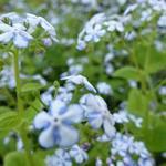 Brunnera macrophylla 'Jennifer' - Brunnera macrophylla 'Jennifer' - Kaukasisch vergeet-mij-nietje