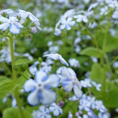 Brunnera macrophylla 'Jennifer' -