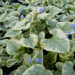 Brunnera macrophylla 'King's Ransom' - Brunnera macrophylla 'King's Ransom' - Kaukasisch vergeet-mij-nietje