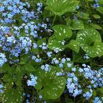 Brunnera macrophylla 'Langtrees' - Kaukasische vergeet-mij-nietje - Brunnera macrophylla 'Langtrees'
