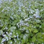 Brunnera macrophylla 'Little Jack' - Brunnera macrophylla 'Little Jack' - Kaukasisch vergeet-mij-nietje