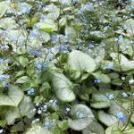 Kaukasische vergeet-mij-nietje - Brunnera macrophylla 'Looking Glass'