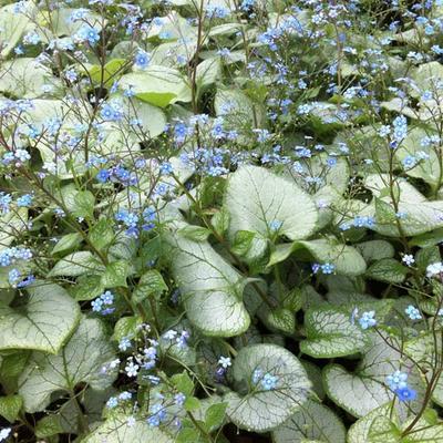 Brunnera macrophylla 'Looking Glass' - Kaukasische vergeet-mij-nietje - Brunnera macrophylla 'Looking Glass'